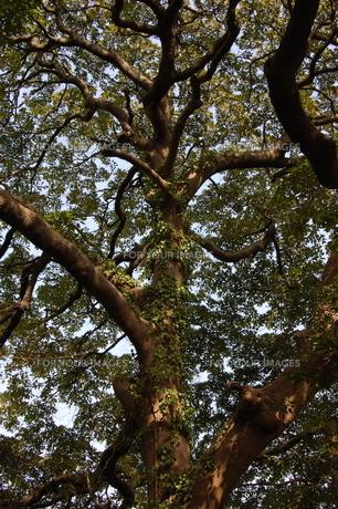 蔦がからまる木の素材 [FYI00421718]