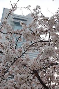 ビルと桜の素材 [FYI00421725]