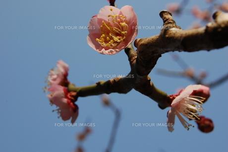 梅の花の素材 [FYI00421729]