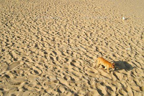 砂漠を歩くネコの写真素材 [FYI00421752]