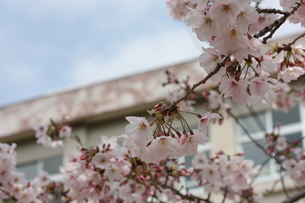 桜と校舎の写真素材 [FYI00421837]