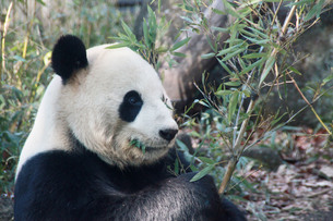 パンダの写真素材 [FYI00421891]