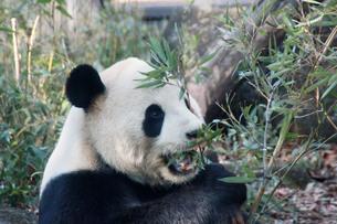 パンダの写真素材 [FYI00421902]