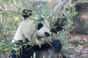 パンダの写真素材 [FYI00421907]