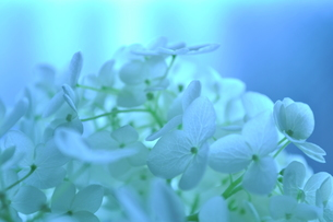 紫陽花の写真素材 [FYI00422040]