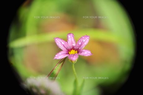 紫のの写真素材 [FYI00422221]