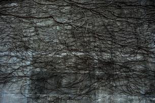 ツタに覆われた壁の写真素材 [FYI00422392]
