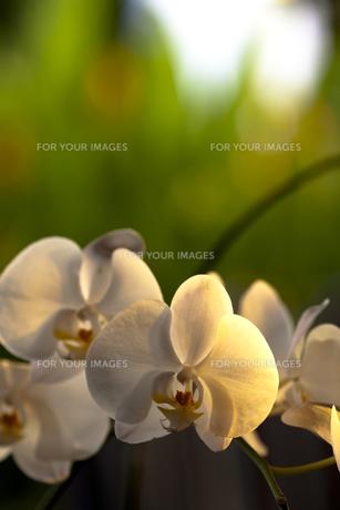 西日のあたる花の素材 [FYI00422462]