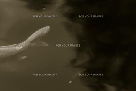 水の中のコイ 3の素材 [FYI00422465]