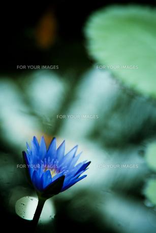 ハスの花の素材 [FYI00422470]