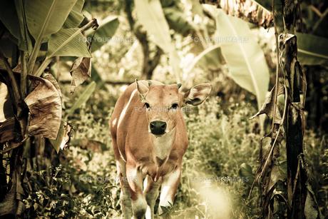 バリ島の牛の素材 [FYI00422477]