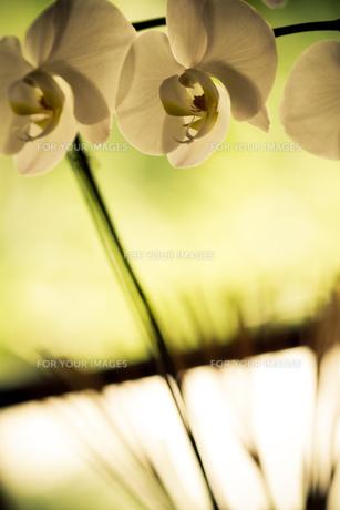 胡蝶蘭の素材 [FYI00422485]