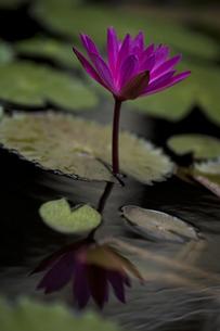 蓮の花の素材 [FYI00422498]