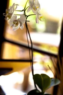 窓辺の胡蝶蘭の写真素材 [FYI00422502]