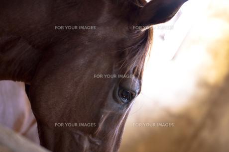馬の横顔の素材 [FYI00422509]