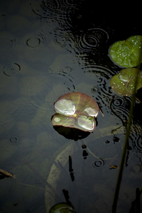 雨の蓮の素材 [FYI00422528]