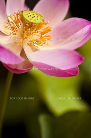 蓮の花の素材 [FYI00422532]