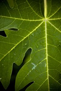 雨上がり、パパイヤの葉の素材 [FYI00422536]