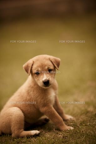 子犬の素材 [FYI00422543]