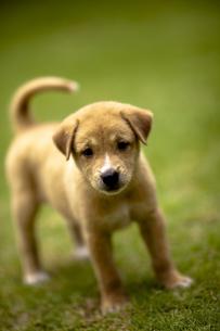 子犬の素材 [FYI00422545]
