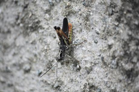 石壁に張り付くバッタの写真素材 [FYI00422559]