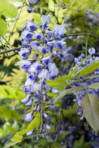自生する野生の藤の花の写真素材 [FYI00422571]