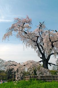 円山公園 祇園枝垂れ桜の写真素材 [FYI00422582]