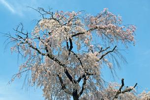 円山公園 祇園枝垂れ桜の写真素材 [FYI00422587]