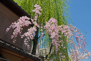 祇園白川の桜と柳の写真素材 [FYI00422589]