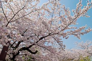 祇園白川の桜の写真素材 [FYI00422590]