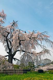 円山公園 祇園枝垂れ桜の写真素材 [FYI00422592]