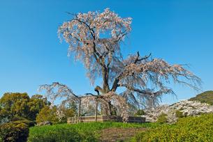 円山公園 祇園枝垂れ桜の写真素材 [FYI00422594]