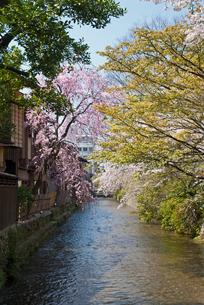 祇園白川の桜の写真素材 [FYI00422599]