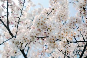 祇園白川の桜の写真素材 [FYI00422602]