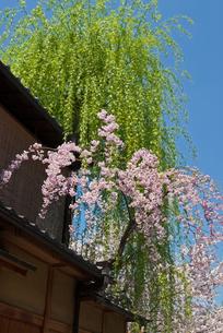 祇園白川の桜と柳の写真素材 [FYI00422603]