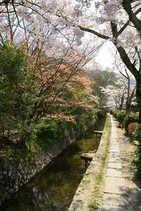 哲学の道 関雪桜の写真素材 [FYI00422604]