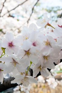 祇園白川の桜の写真素材 [FYI00422605]