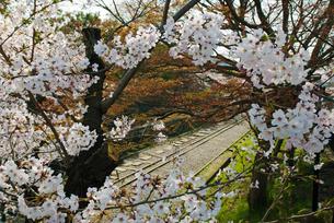 東山蹴上インクラインの桜 ソメイヨシノの写真素材 [FYI00422610]