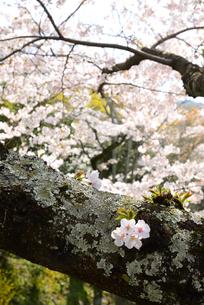 哲学の道 関雪桜の写真素材 [FYI00422611]