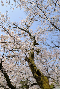 哲学の道 関雪桜の写真素材 [FYI00422612]