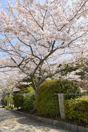 哲学の道 関雪桜の写真素材 [FYI00422613]