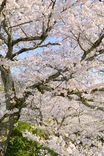 哲学の道 関雪桜の写真素材 [FYI00422615]