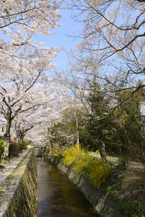 哲学の道 関雪桜の写真素材 [FYI00422617]