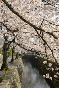 哲学の道 関雪桜の写真素材 [FYI00422618]
