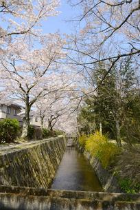 哲学の道 関雪桜の写真素材 [FYI00422619]