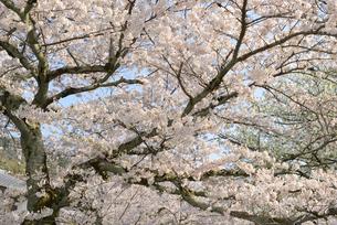 哲学の道 関雪桜の写真素材 [FYI00422621]