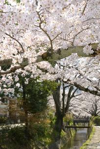 哲学の道 関雪桜の写真素材 [FYI00422623]