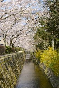 哲学の道 関雪桜の写真素材 [FYI00422624]