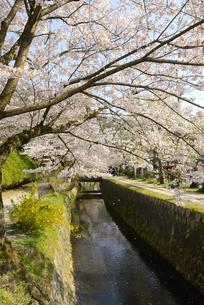 哲学の道 関雪桜の写真素材 [FYI00422625]