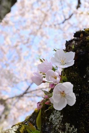 哲学の道 関雪桜の写真素材 [FYI00422626]